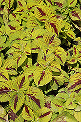Kong Jr. Lime Vein Coleus (Solenostemon scutellarioides 'Kong Jr. Lime Vein') at Green Haven Garden Centre