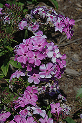 Violet Flame Garden Phlox (Phlox paniculata 'Barsixtyone') at Green Haven Garden Centre