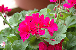Americana® Violet Geranium (Pelargonium 'Americana Violet') at Green Haven Garden Centre