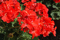 Americana® Coral Geranium (Pelargonium 'Americana Coral') at Green Haven Garden Centre