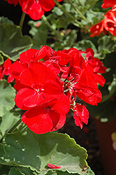 Americana® Dark Red Geranium (Pelargonium 'Americana Dark Red') at Green Haven Garden Centre