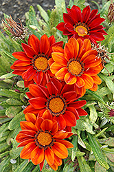 New Day Clear Red Shades (Gazania 'New Day Red Shades') at Green Haven Garden Centre