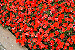 SunPatiens® Compact Electric Orange New Guinea Impatiens (Impatiens 'SunPatiens Compact Electric Orange') at Green Haven Garden Centre