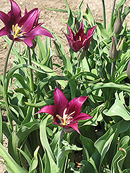 Purple Dream Tulip (Tulipa 'Purple Dream') at Green Haven Garden Centre