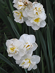 Cheerfulness Daffodil (Narcissus x poetaz 'Cheerfulness') at Green Haven Garden Centre