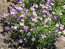 Dwarf Rock Cress (Aubrieta gracilis) at Green Haven Garden Centre