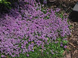 Purple Carpet Creeping Thyme (Thymus praecox 'Purple Carpet') at Green Haven Garden Centre