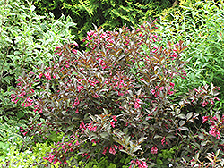 Midnight Wine® Weigela (Weigela florida 'Elvera') at Green Haven Garden Centre