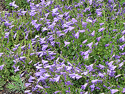 Birch Hybrid Bellflower (Campanula 'Birch Hybrid') at Green Haven Garden Centre