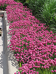 Dusseldorf Pride Sea Thrift (Armeria maritima 'Dusseldorf Pride') at Green Haven Garden Centre