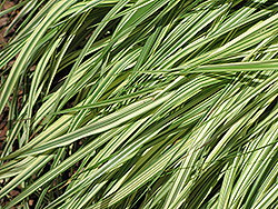 Variegated Moor Grass (Molinia caerulea 'Variegata') at Green Haven Garden Centre