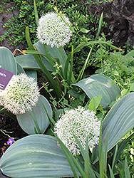 Ivory Queen Ornamental Onion (Allium karataviense 'Ivory Queen') at Green Haven Garden Centre