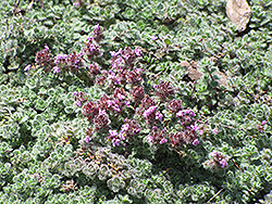 Wooly Thyme (Thymus pseudolanuginosis) at Green Haven Garden Centre