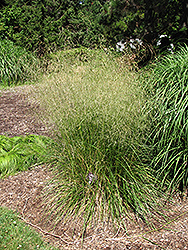 Bronzeschlier Tufted Hair Grass (Deschampsia cespitosa 'Bronzeschlier') at Green Haven Garden Centre