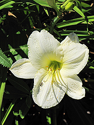 Joan Senior Daylily (Hemerocallis 'Joan Senior') at Green Haven Garden Centre