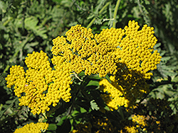 Coronation Gold Yarrow (Achillea 'Coronation Gold') at Green Haven Garden Centre