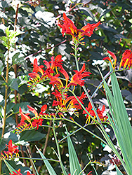 Lucifer Crocosmia (Crocosmia 'Lucifer') at Green Haven Garden Centre