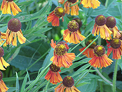 Bruno Helenium (Helenium 'Bruno') at Green Haven Garden Centre