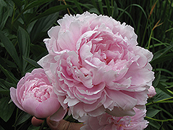 Double Pink Peony (Paeonia 'Double Pink') at Green Haven Garden Centre