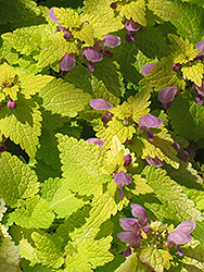 Golden Spotted Dead Nettle (Lamium maculatum 'Aureum') at Green Haven Garden Centre