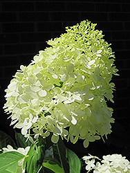 Limelight Hydrangea (Hydrangea paniculata 'Limelight') at Green Haven Garden Centre
