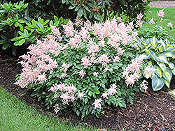 Peach Blossom Astilbe (Astilbe x rosea 'Peach Blossom') at Green Haven Garden Centre