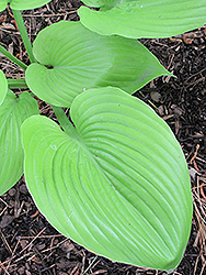 Sum and Substance Hosta (Hosta 'Sum and Substance') at Green Haven Garden Centre