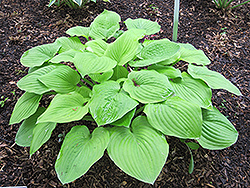 August Moon Hosta (Hosta 'August Moon') at Green Haven Garden Centre
