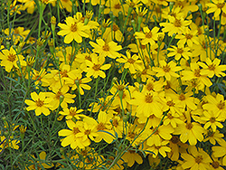 Zagreb Tickseed (Coreopsis verticillata 'Zagreb') at Green Haven Garden Centre