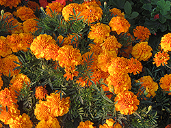 Hero Orange Marigold (Tagetes patula 'Hero Orange') at Green Haven Garden Centre