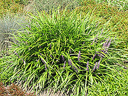Lily Turf (Liriope spicata) at Green Haven Garden Centre