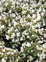 Bada Boom® White Begonia (Begonia 'Bada Boom White') at Green Haven Garden Centre