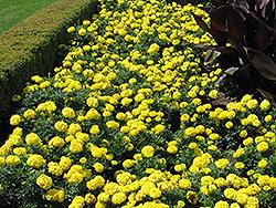 Inca Yellow Marigold (Tagetes erecta 'Inca Yellow') at Green Haven Garden Centre