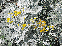 Silver Dust Dusty Miller (Senecio cineraria 'Silver Dust') at Green Haven Garden Centre