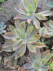 Fred Ives Graptoveria (Graptoveria 'Fred Ives') at Green Haven Garden Centre