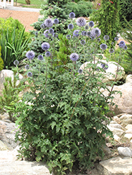 Veitch's Blue Globe Thistle (Echinops ritro 'Veitch's Blue') at Green Haven Garden Centre