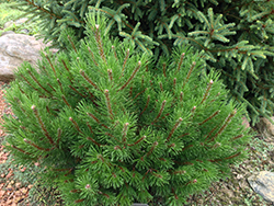 Palouse Dwarf Mugo Pine (Pinus mugo 'Palouse') at Green Haven Garden Centre