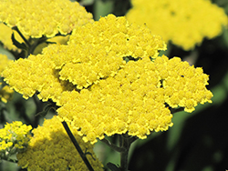 Moonshine Yarrow (Achillea 'Moonshine') at Green Haven Garden Centre