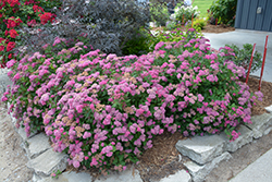 Double Play® Pink Spirea (Spiraea japonica 'SMNSJMFP') at Green Haven Garden Centre