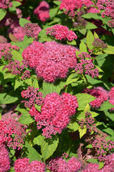 Double Play® Red Spirea (Spiraea japonica 'SMNSJMFR') at Green Haven Garden Centre