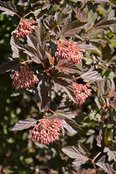 Summer Wine Ninebark (Physocarpus opulifolius 'Seward') at Green Haven Garden Centre