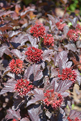 Ginger Wine Ninebark (Physocarpus opulifolius 'SMNPOBLR') at Green Haven Garden Centre