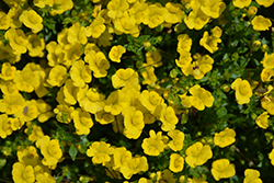 Gold Dust Mecardonia (Mecardonia 'Gold Dust') at Green Haven Garden Centre