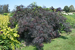 Black Lace Elder (Sambucus nigra 'Eva') at Green Haven Garden Centre