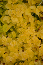 Goldilocks Creeping Jenny (Lysimachia nummularia 'Goldilocks') at Green Haven Garden Centre