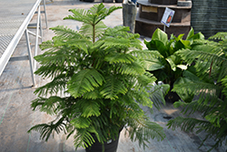 Norfolk Island Pine (Araucaria heterophylla) at Green Haven Garden Centre