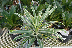 Warneckii Dracaena (Dracaena deremensis 'Warneckii') at Green Haven Garden Centre