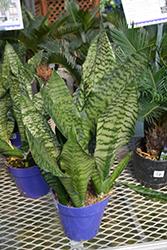 Futura Robusta Snake Plant (Sansevieria trifasciata 'Futura Robusta') at Green Haven Garden Centre