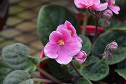 Hybrid Pink African Violet (Saintpaulia 'Hybrid Pink') at Green Haven Garden Centre