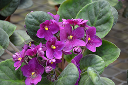 Hybrid Purple African Violet (Saintpaulia 'Hybrid Purple') at Green Haven Garden Centre